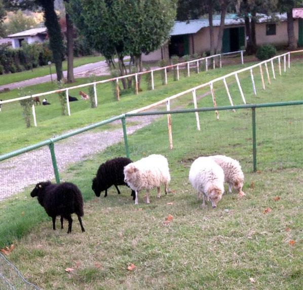 pecore-rocca-papa-1
